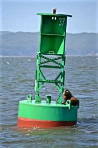 Sea lion - King of the buoy - Columbia River, OR