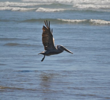 pelican majestic over shipwreck beach, OR