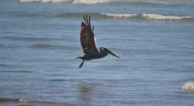 pelican majestic over shipwreck beach, OR