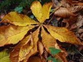 Horse chestnut Culzean