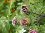 Bee on Burdock