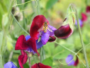 Hoverfly on Sweetpea