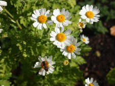 Hover over the Feverfew
