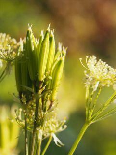 Sweet Cicely (Myrrhis odorata))