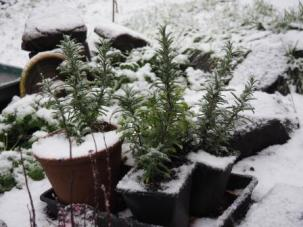 Snow covered herbs