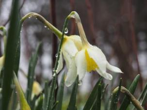 Narcissus breaking into bloom
