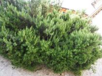 Prostrate Rosemary - Limone