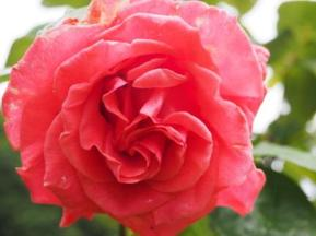 Rosa 'Leaping Salmon'
