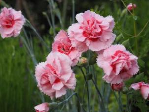 'Doris' Dianthus
