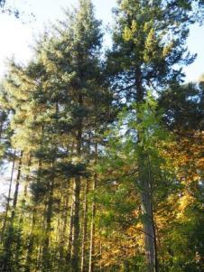 Standing pines