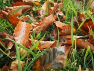 Autumn leaves - Beech