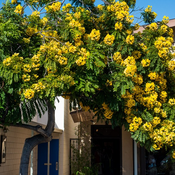 A Nice Ring to It: The Gold Medallion Tree Lights Up the Streets of Southern California