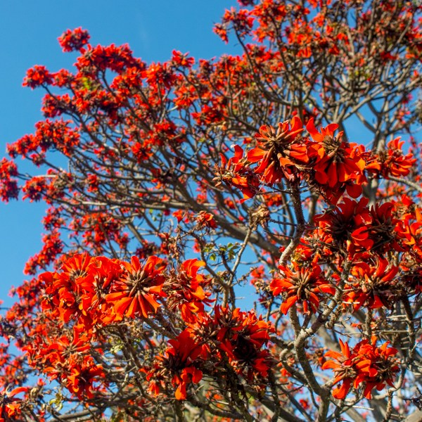 Red All Over: Why the Coral Is an International Celebri-Tree