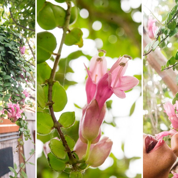 Totally Tubular: The Lipstick Plant Gussies Up Our Yard