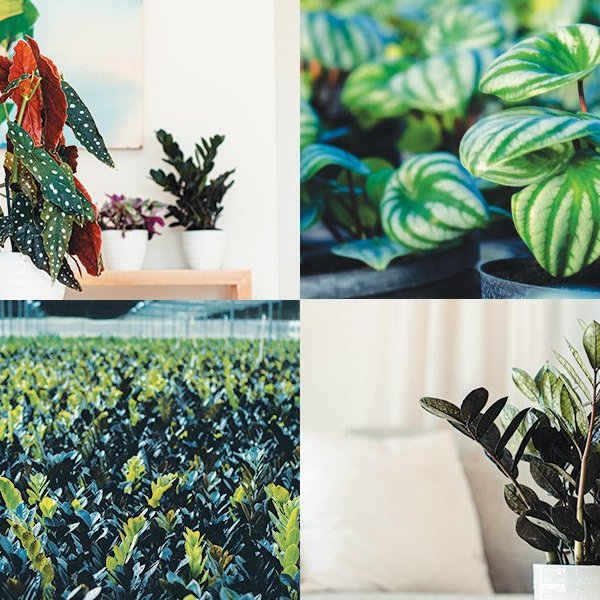 Talking to Costa Farms About 'Trending Tropicals' — From Begonia maculata to Raven ZZ (and Yes, When to Expect Monstera 'Thai Constellation')