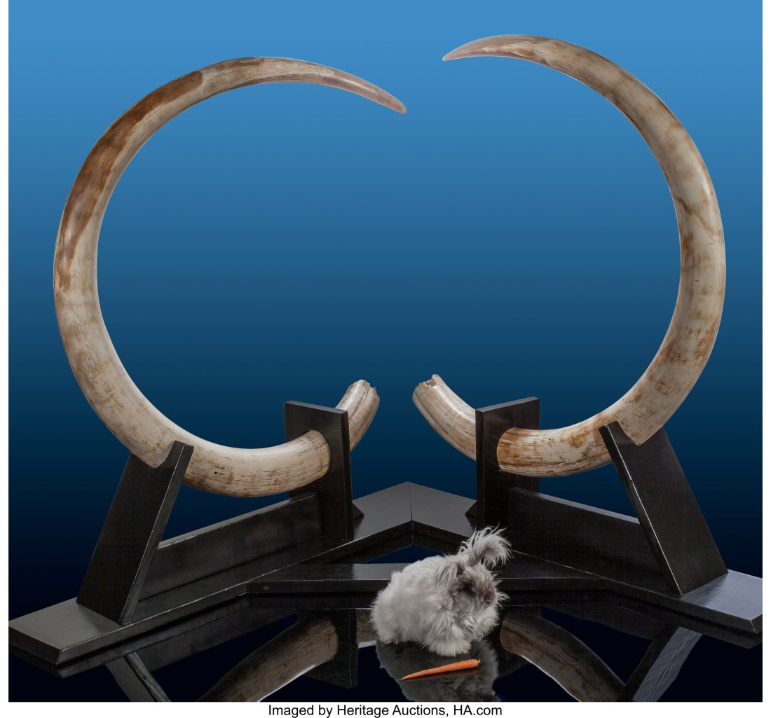 A pair of mammoth tusks from Alaska that date to the Pleistocene era (which spans about 11,700 years ago to 2.6 million years ago).