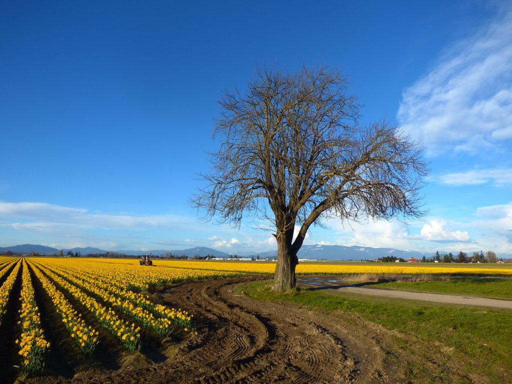 Meilleur moment pour visiter le Skagit Valley Tulip Festival