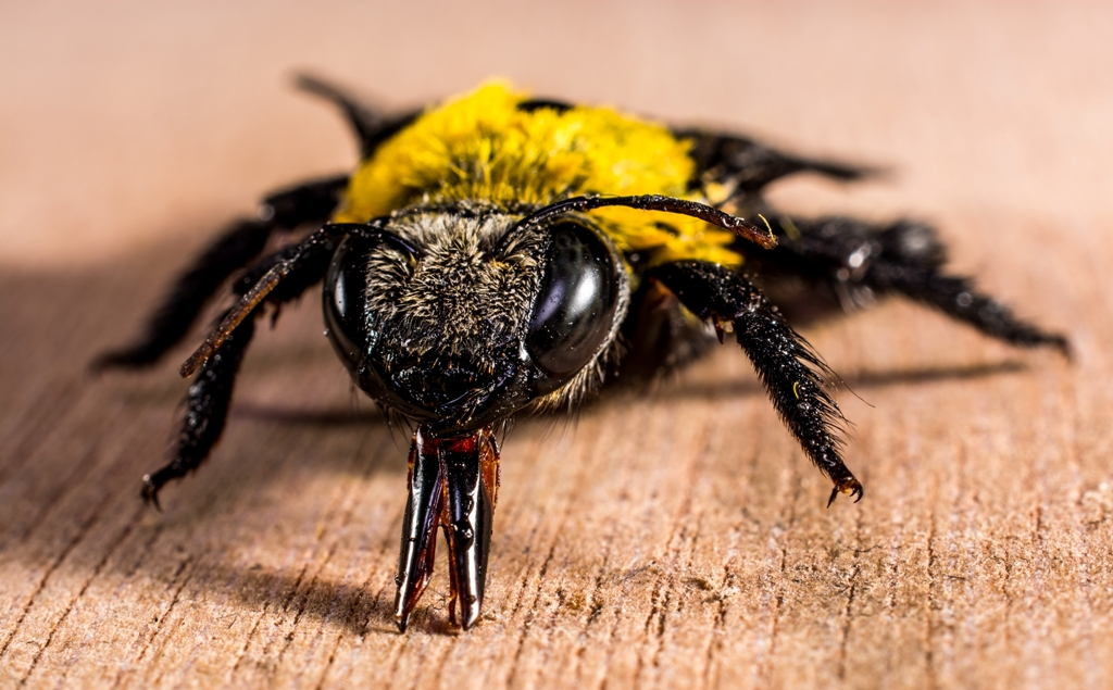 bee sting, bee on wood surface