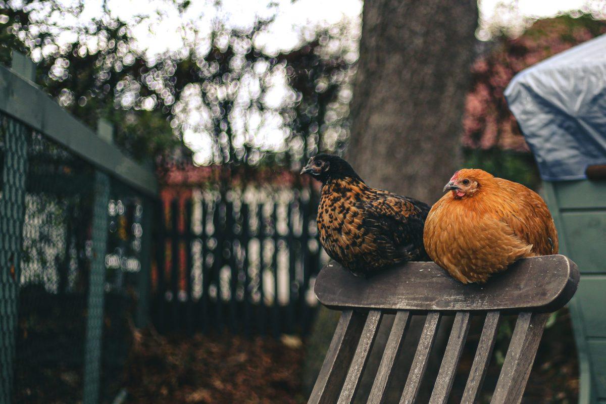 Raising Backyard Chickens - The Hot Mess Press