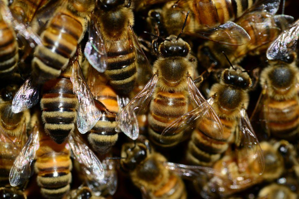 Honey bees threatened by Asian Giant Hornets