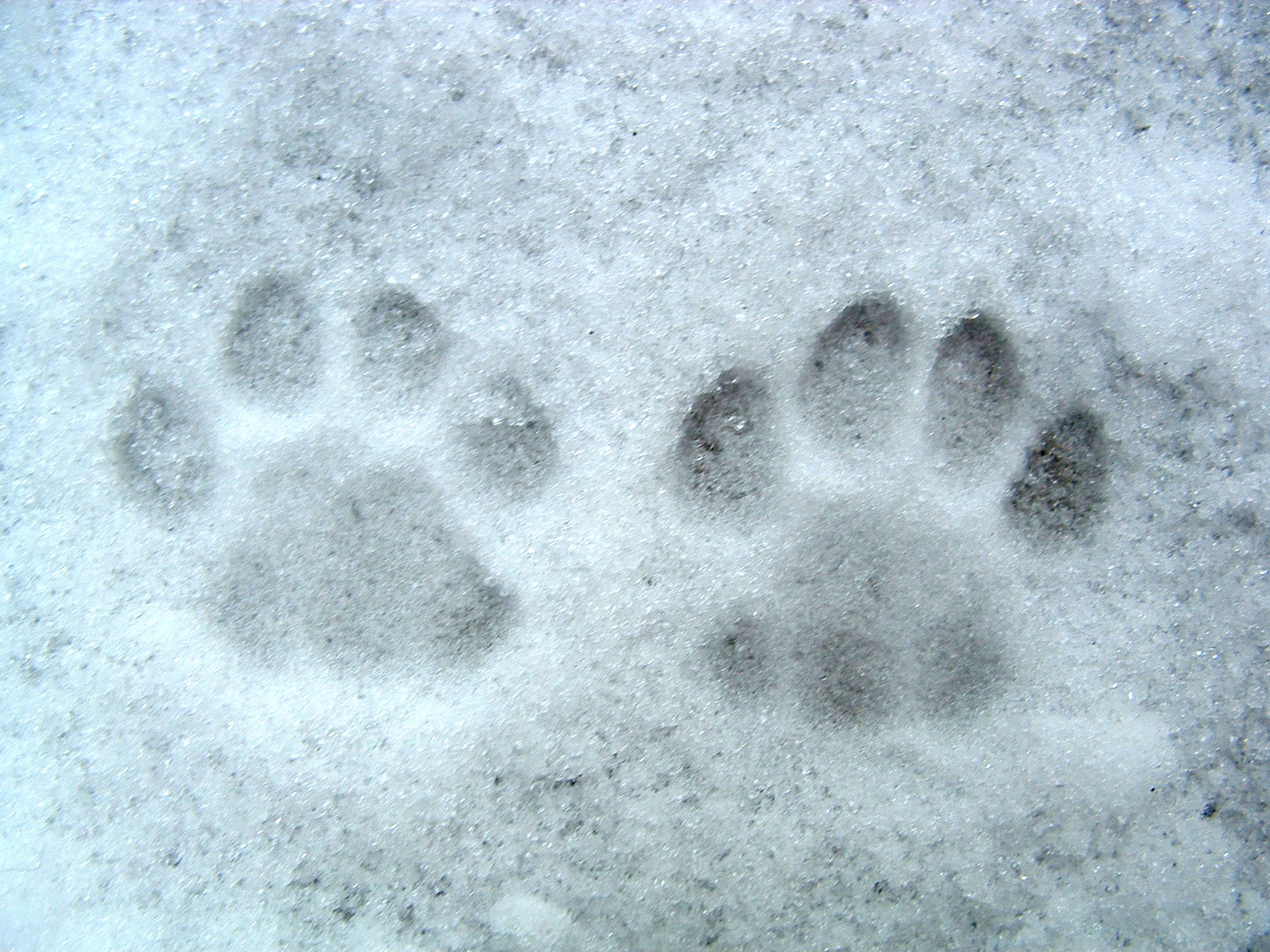 Snow, paw prints