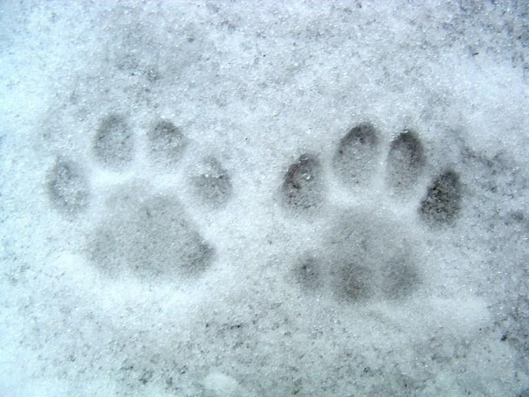 Snow, paw prints