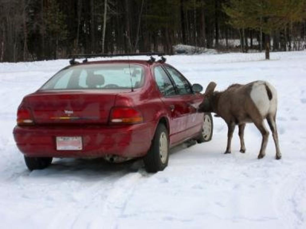 Big Horn Sheep licking car