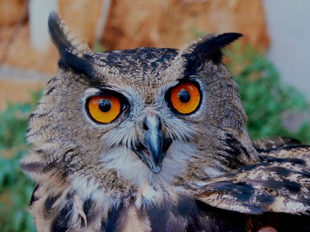 Owl Big Horned
