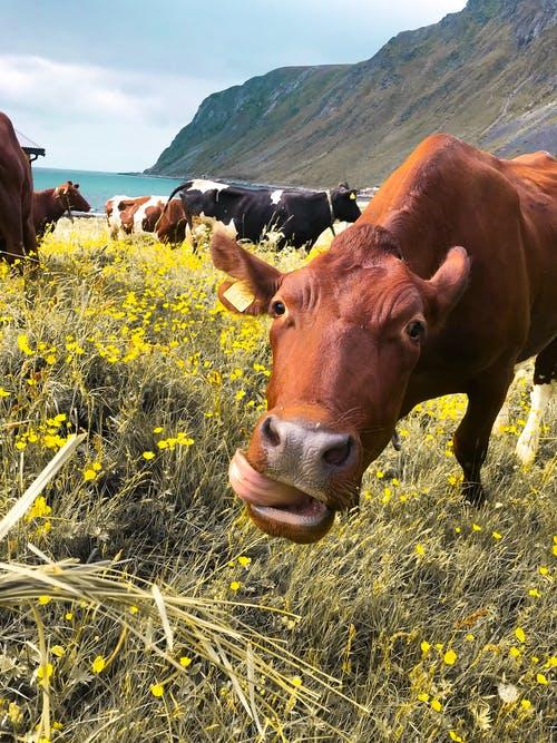 diet, cow grazing in field of yellow flowers