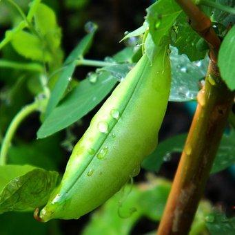 bean plant