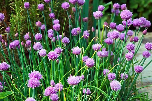 field of chives with purple blossoms