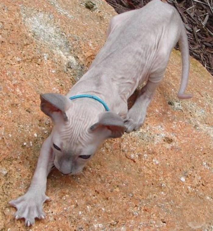 Cat Facts webbed feet
