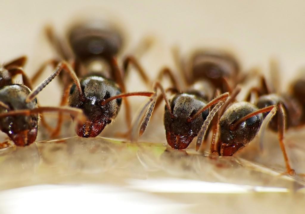 Social Distancing ants