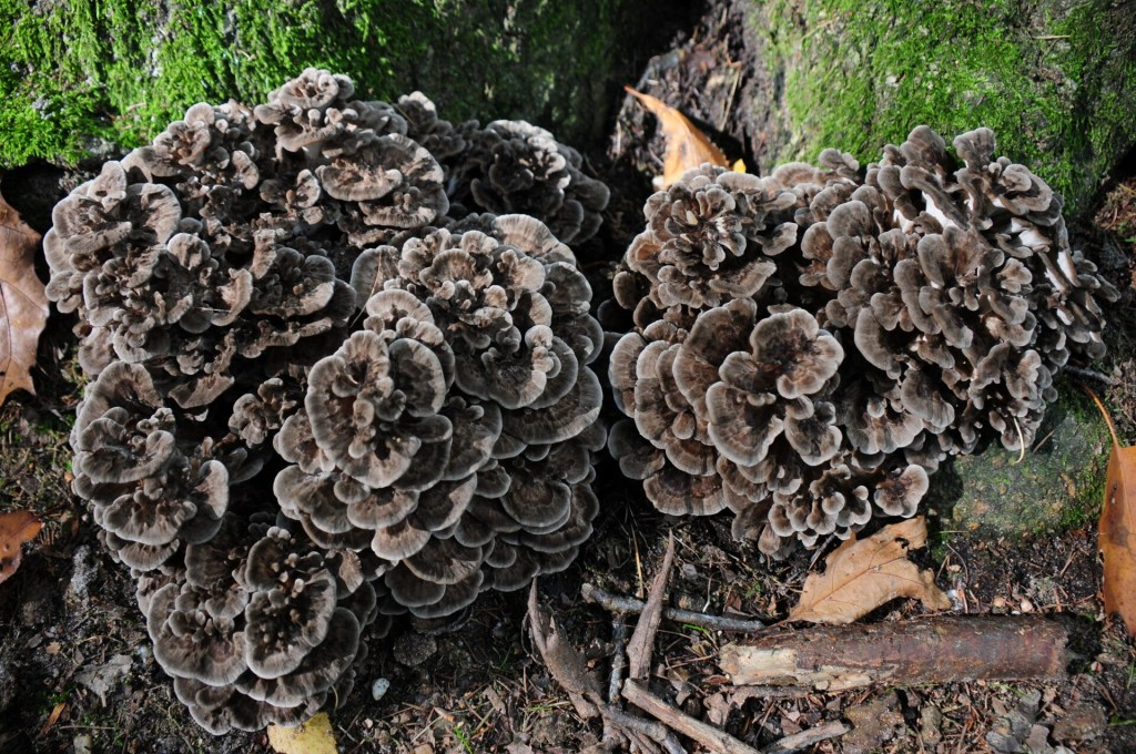 edible mushrooms, cluster of maitake mushrooms