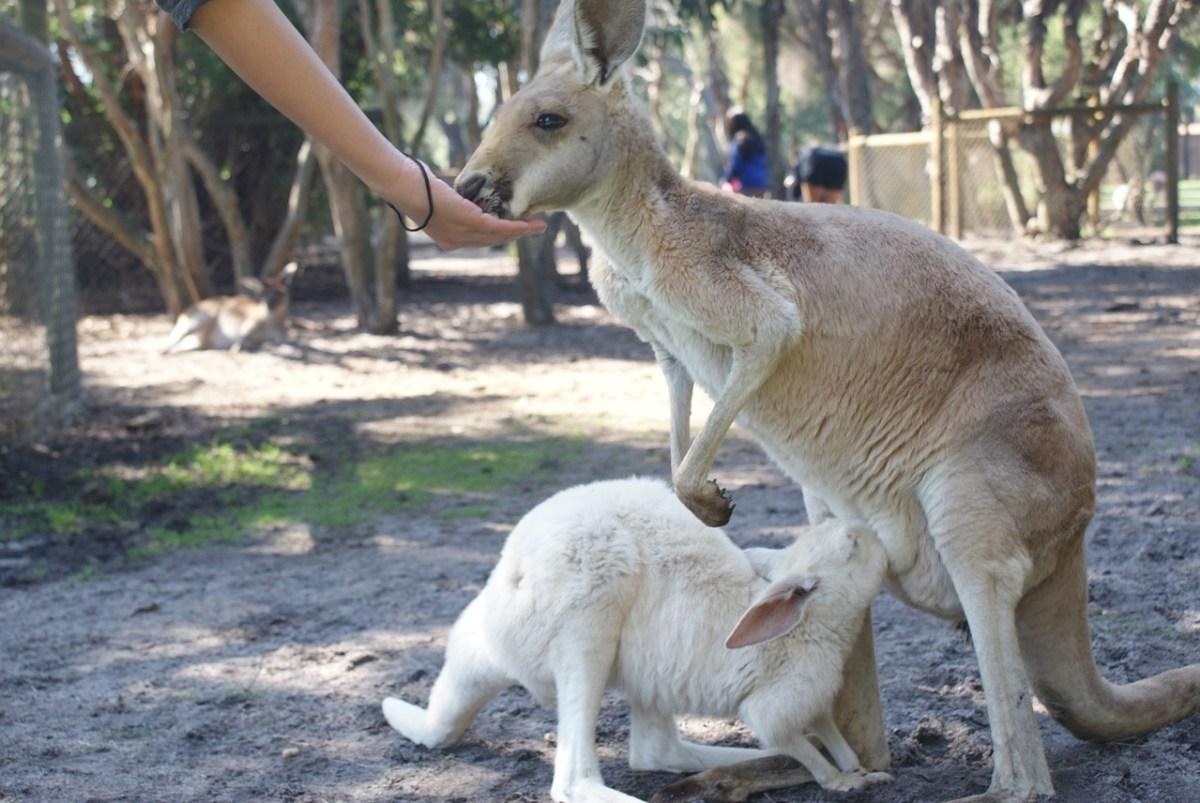 Kangaroos joey nursing