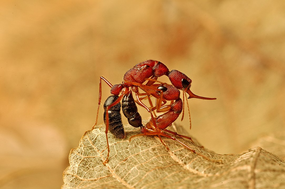 Voters Indian jumping ants