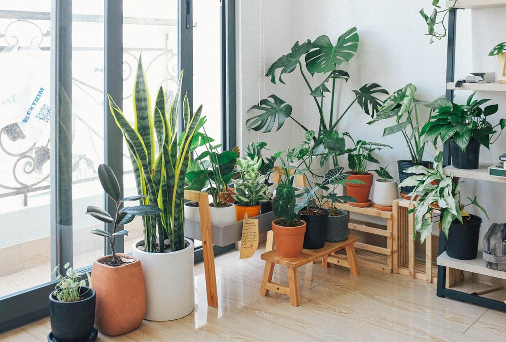house plants, green plants of various sizes arranged near window, wooden stools and shelves