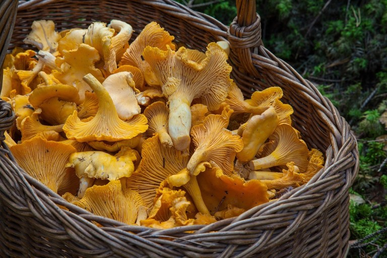 edible mushrooms, basket full of yellow mushrooms