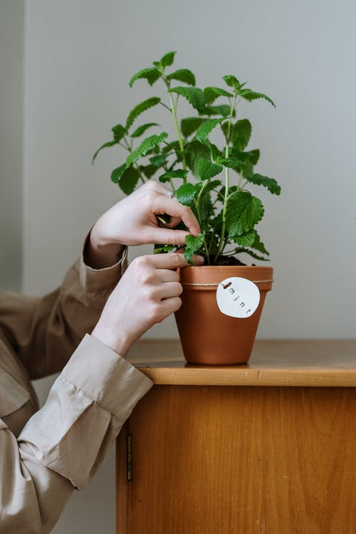hands picking mint leaves from plant in terracotta pot