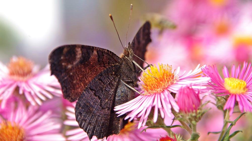 dark brown moth on pink flower