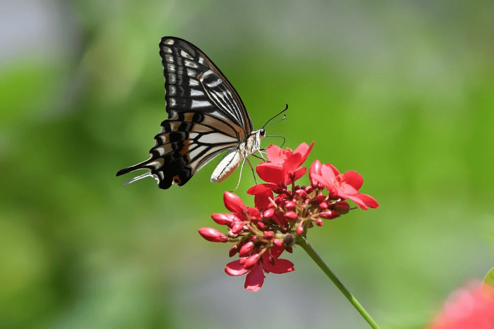 butterfly host plants, swallowtail on a flower