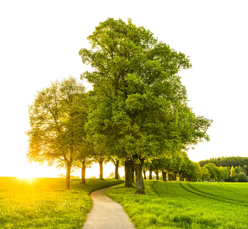 Small grove of oak trees