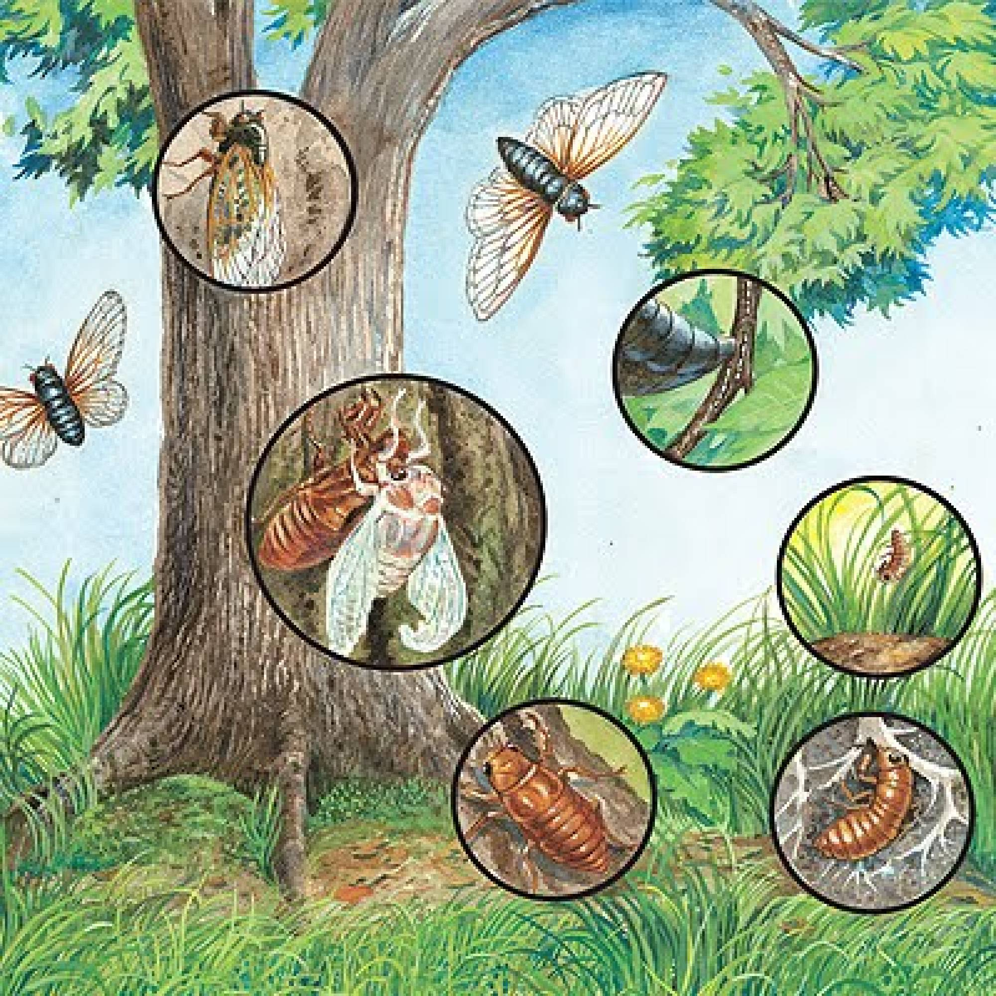 Cicada Life Cycle Worksheet
