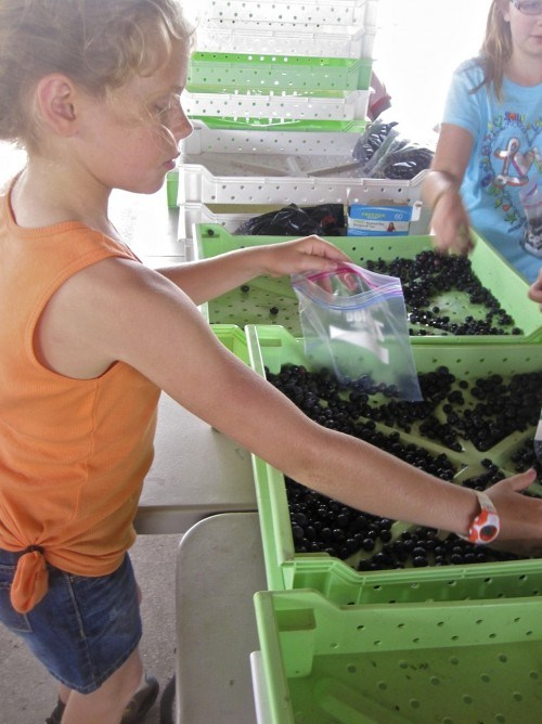 Gleaning Blueberries for the Homeless - a fun way to serve with your kids this summer {the House of Hendrix}
