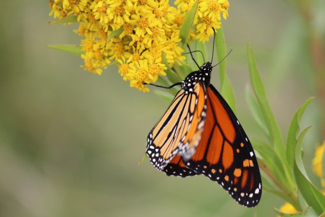 Monarch Butterflies as they migrate through Boston to Mexico