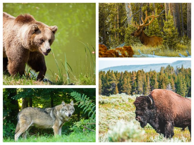 Animals from Yellowstone National Park.