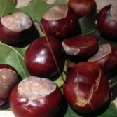 The conkers in our conker poem