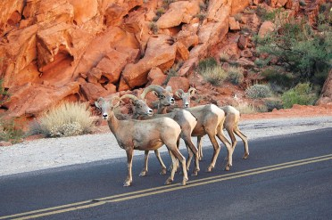Bighorn sheep can also be spotted.