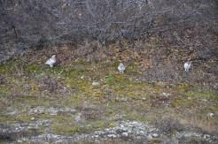 Snowy white ptarmigans sit quietly under a bush.