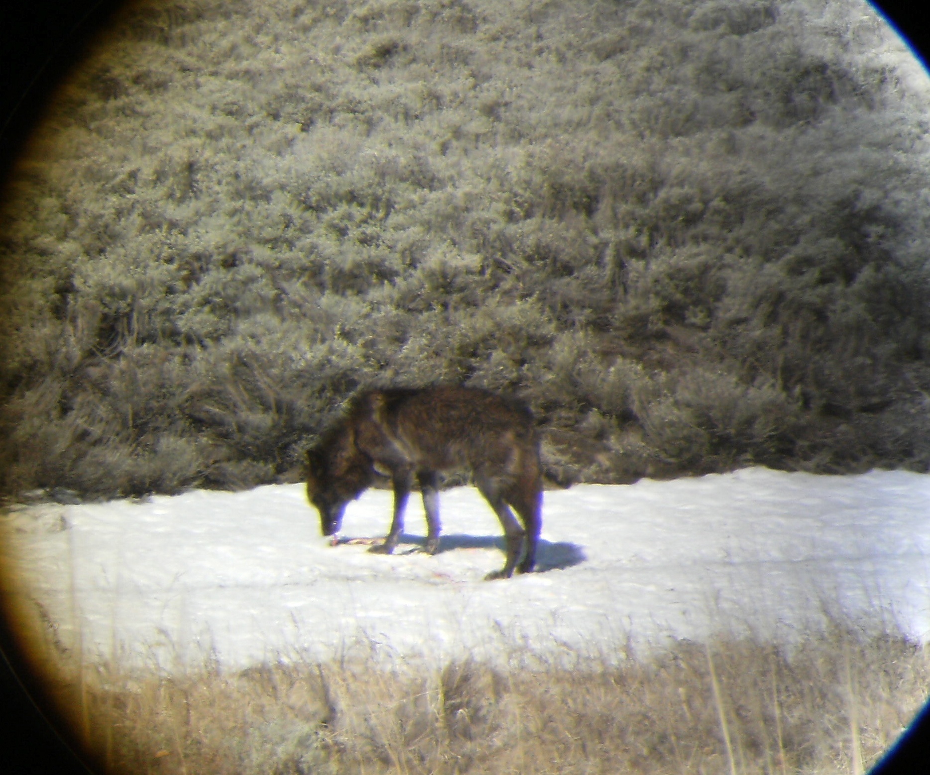 Wolf eating a fish